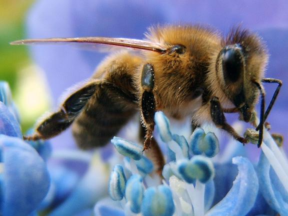 honey-bee 3