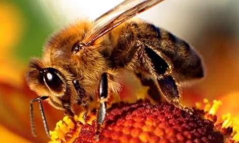 Honey-Bee 8